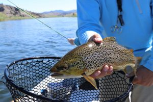 Brown Trout Colorado Fishing
